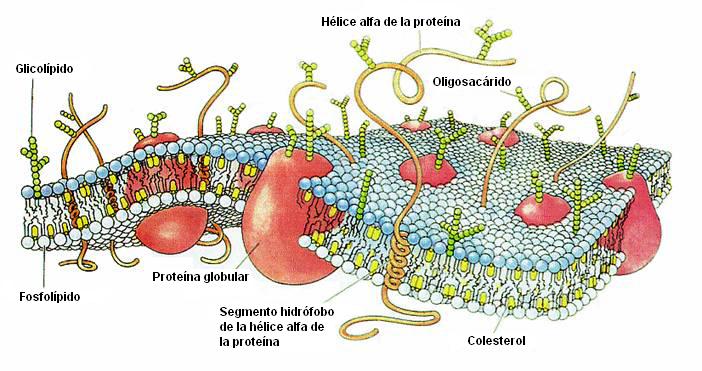 autor: Asasia, http://es.wikipedia.org/wiki/Usuario:Asasia